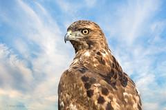 Hawk Eye (Mimi Ditchie) Tags: merced mercednationalwildliferefuge mercedrefuge hawk redtailedhawk bird eye hawkeye stare clouds montage