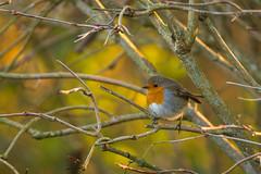 Rouge-gorge (Philippe POUVREAU) Tags: 2018 robin bird oiseau jardin garden winter hiver cold froid rougegorge europeanrobin france saintbrevin saintbrevinlespins passereau arbres