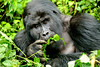 Gorille des montagnes (Voyages Lambert) Tags: silverbackgorilla wildernessarea mountaingorilla uganda animalsinthewild gorilla mountain forest nationalpark bwindi impenetrable
