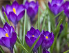 Purple crocuses (Shotaku) Tags: flowers flower bulbs bulb purple plants blooms blooming spring group outdoors closeup