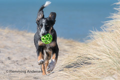 Frisbee with ball (Flemming Andersen) Tags: bluesky beach nature water ball bordercollie green frisbee dog sea thisted northdenmarkregion denmark dk