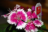 Flowers On A Dianthus Plant. (dccradio) Tags: lumberton nc northcarolina robesoncounty inside indoors plant greenery leaf leaves foliage purple flower floral flowers nikon d40 dslr dianthus