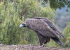 Black Vulture - Sierra de Andujar - Spain (wietsej) Tags: black vulture sierra de andujar spain sony rx10 rx10m4 iv bird nature