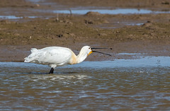 DSC_3495 (Adrian Royle) Tags: lincolnshire framptonmarsh rspb nature wildlife bird heron spoonbill nikon