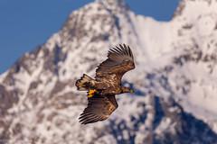 eagle (Patrick Carpreau) Tags: lofoten noorwegen norway seaeagleribsafari svolvaer photoshopcc2018 zeearend