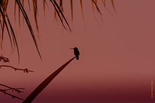 Colibri d'Helen (Mellisuga helenae)     Zunzuncita pour les Cubains