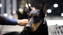 Thoughtful look (zola.kovacsh) Tags: doberman dobermann pinscher portrait indoor animal pet dog show display exhibition