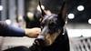 Thoughtful look (zola.kovacsh) Tags: doberman dobermann pinscher portrait indoor animal pet dog show display exhibition
