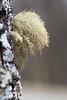 Lichen (Olivier Brosseau) Tags: flickrnature