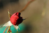 rose (kinaaction) Tags: rose flower nature red sonyilce6000 flora bud 7dwf