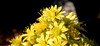 succulent flowers, with ants (Martin LaBar (going on hiatus)) Tags: california sandiegocounty flower flowers ant hymenoptera ants succulent macro crassulaceae aeonium aeoniumarboreum linepithemahumile