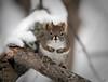 Sitting pretty (Susan Newgewirtz) Tags: red nikon nikond850 squirrel outdoor 200mm
