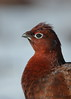 Red Grouse portrait (Martial2010) Tags: red grouse angus glen canon