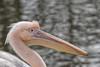 Roze Pelikaan_03 (Nick Dijkstra) Tags: rozepelikaanpelecanusonocrotaluswhitepelicanartis roze pelikaan pelecanus onocrotalus white pelican artis