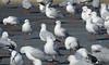 scarborough gulls (8) (bertknot) Tags: gus seagulls meeuwen scarboroughgulls scarboroughseagulls scarboroughharbor