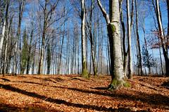 Promenons-nous, dans les bois, …. (Le.Patou) Tags: france vosges bandesapt lafontenelle forêt bois sousbois tapis feuille forest wood underbrush undergrowth carpet leave