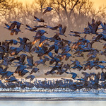 Sandhill Cranes taking flight at sunrise, Platte River near Kearney, Nebraska thumbnail