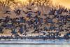 Sandhill Cranes taking flight at sunrise, Platte River near Kearney, Nebraska (diana_robinson) Tags: sandhillcranes takingflight birdsinflight river sunrise platteriver kearney nebraska