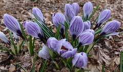 Purple people eaters (D70) Tags: deerlakepark burnaby bc canada purple flowers crocus sony dscrx100m5 ƒ40 88mm 1125 125 croci crocuses