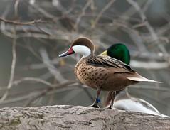 White-Cheeked Pintail (swmartz) Tags: nikon nature newjersey wildlife waterfowl outdoors ducks pintail whitecheeked march 2018