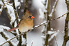 Northern Cardinal-8953-2 (vdrobphoto) Tags: canon5d111 canon400mm56l cardinal birds bird feathers ngc