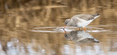 Red Shank... (Catherine Cochrane) Tags: outside bird wader nature wildlife naturallight light outdoors redshank water reflections waterreflection mirrorimage reflect march sea uk