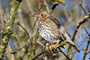 Song Thrush Titchwell RSPB (JohnMannPhoto) Tags: song thrush titchwell rspb