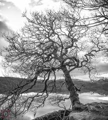 Tree overlooking Loch Venachar, Scotland (picsbyCaroline) Tags: tree trees sky landscape scotland bold alone scenery scenic beautiful wild winter