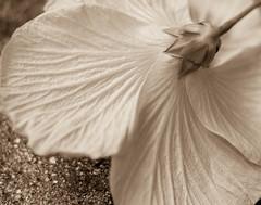 hibisco en sepia (risaclics) Tags: crazy tuesday themeflor en sepia make me smile 50mm18 7dw february2018 macro nikond610 flora flowers hibiscus texture yellow crazytuesdaytheme florensepia makemesmile smileonsaturday flowersbottom