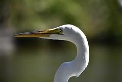 Great Egret (Explore 03-17-2018) (River Wanderer) Tags: greategret egret nikond7200 55300 gatorland orlando florida