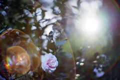 Good morning starshine, the earth says hello (PeterThoeny) Tags: saratoga california siliconvalley sanfranciscobay sanfranciscobayarea southbay hakonegardens japanesegarden forest flower plant leaf treeleaf green blur depthoffield shallowdepthoffield flair lensflair dof bokeh sony sonya7 a7 a7ii a7mii alpha7mii ilce7m2 fullframe vintagelens dreamlens canon50mmf095 f095 canon 1xp raw photomatix hdr qualityhdr qualityhdrphotography fav100