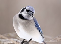 Peanuts Please (Diane Marshman) Tags: bluejay blue crest head body tail feathers wings white gray chest breast black face neck ring beak large bird closeup winter northeast pa pennsylvania nature wildlife