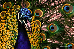 Digital Cartoon of a Peacock by Charles W. Bailey, Jr. (Charles W. Bailey, Jr., Digital Artist) Tags: bird peacock indianpeafowl bluepeafowl pheasant photoshop photomanipulation jixipixartoon topazrestyle topazclean alienskinexposurex3 on1photo10 drawing cartoon art fineart visualarts digitalart artist digitalartist charleswbaileyjr