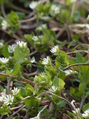 ハコベ (nofrills) Tags: plant plants flora floral flowers weed weeds spring roadside tokyo japan ハコベ chickweed commonchickweed white whiteflowers whiteflower macro