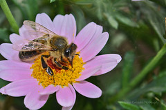 Spring is coming (Nikos Roditakis) Tags: honey bees flowers daisy garden spring nikos roditakis nikon d5200 macro tamron af sp 90mm f28 insects pollinators pollen nectar