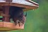 Das regnet ja! / Gosh, it's raining! (schreibtnix on 'n off) Tags: deutschland germany bergischgladbach jahreszeiten seasons winter tiere animals eichhörnchen squirrel sciurusvulgaris nahaufnahme closeup dasregnetja goshitsraining olympuse5 schreibtnix