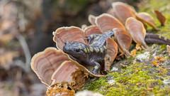 09409 (PhillipsVonNoog) Tags: animal animals tennessee aquarium wildlife amphibian amphibians salamanders spotted salamander ambystoma maculatum