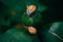 IMG_9647 (ilosschuler) Tags: macro macrolens insect colorful small life nature natgeo