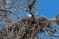 Female Bald Eagle returns to the nest - 29 of 29