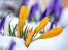 Winter does not give up easily (Maryna K.) Tags: nature flower crocus snow spring blume krokusse frühling schnee