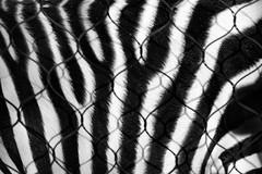 zebra (abtabt) Tags: fur trinidadandtobago tt portofspain pos zoo zebra d70085f18 pattern ropemesh mesh animal
