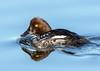 Common Goldeneye (Ed Sivon) Tags: america canon nature lasvegas wildlife wild western water southwest desert duck clarkcounty clark vegas bird henderson nevada preserve