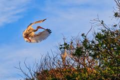 White Ibis Inbound (dngovoni) Tags: action background bird clouds flight florida ibis staugustine sunset whiteibis wildlife unitedstates us