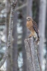 Red-shouldered Hawk - Cottonwood Trail, SC (hmthelords) Tags: cottonwoodtrailsc