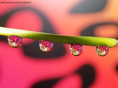 Water Drop Reflections (rachael242) Tags: abstract art water drops liquid macro tiny close up colors small delicate patterns reflect reflection reflected light shadow bright pink red yellow black