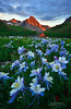 Blue Columbine Paradise (Mengzhonghua) Tags: wildflower meixuphotography bluecolumbine colorado alpenglow sanjuanmountains stateflower