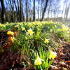 Jonquilles / Daffodils (dbrothier) Tags: chateaudevillierslemahieu eos6d canonef1740mmf4lusm canon6d jonquilles daffodil flowers fleurs 7dwf flora