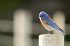 DSC_1276.jpg Western Bluebird, Arana Gulch (ldjaffe) Tags: aranagulch westernbluebird