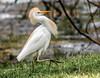 Cattle Egret (backyardzoo) Tags: echo
