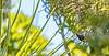 Kōkako 01 (Black Stallion Photography) Tags: north island kokako bird wildlife newzealand nzbirds grey ghost blue wattles berry green foliage black stallion photography igallopfree